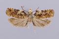 View Heleanna physalodes abundantia Clarke, 1976 digital asset number 0