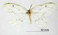 View Leucula cachiaria Schaus, 1912 digital asset number 0