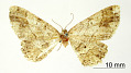 View Melanolophia fugitaria Schaus, 1913 digital asset number 0