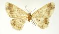 View Melanolophia fugitaria Schaus, 1913 digital asset number 2