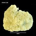 View Osthimosia milleporoides (Calvet, 1909) digital asset number 1
