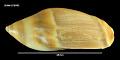 View Ancilla australis Sowerby, 1830 digital asset number 1