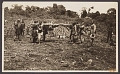 View Black and white photograph of porters carrying an elephant skull, intact with large tusks digital asset number 1