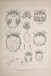 Sarcoptes squamiferus. (Sarcopt. suis. Gerl.)