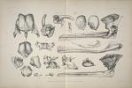 Separated skull bones of Platanista gangetica ...