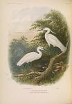 Egretta garzetta (Linnaeus)