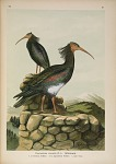 Geronticus eremita (L.). Waldrapp ...