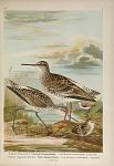 Totanus totanus (L.). Gambett-Wasserläufer ... Totanus stagnatilis Bechst. Teich-Wasserläufer ...
