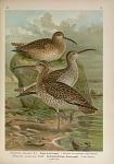 Numenius phaeopus (L.). Regen-Brachvogel ... Numenius tenuirostris Vieill. Dünnschnäbeliger Brachvogel ...