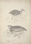 Pedionomus Torquatus, Collared Plain wanderer. Coturnix Pectoralis, Pectoral Quail.