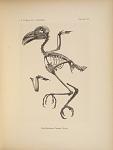 Lepidogrammus Cumingi (Fras.)
