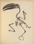 Pteroglossus Wiedii Sturm.