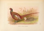 Prince of Wales's Pheasant