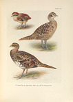 Plumages of Reeves's and Elliot's Pheasants.