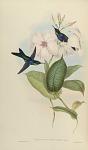 Thalurania Refulgens, Gould.