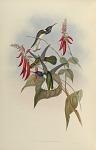 Florisuga Flabellifera, Gould.