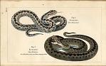 Fig. 1. Kreuzotter: Altes Mannchen Fig. 2. Kreuzotter: Altes Weibchen