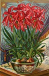 The scarlet Mexican lily