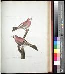 Plate 111: 1. Siamese Sparrow. 2. Moineau du Royaume de Tonouin