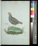 Plate 9: French Partridge Young Male