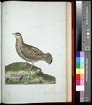 Plate 150: The Francolin, Female