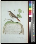 Plate 15: The Nightingale