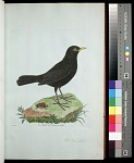 Plate 19: The Blackbird