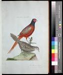Plate 40: The Pheasant, Male. 2. [The Pheasant], Female