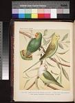 1. Love-Bird Parrakeet or Red-Headed Love-Bird. 2. Undulated Grass Parrakeet. 3. Grey-Headed Parrakeet or Madagascara Love-Bird.