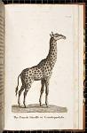 The Female Giraffe or Camelopardalis