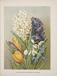 Hyacinths-Crocus-Snowdrops and Scillas