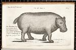 The Mountain Cow or as some think the Hippopotamus