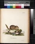 Sciurus striatus Linn.