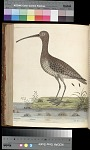 Plate 79 - The Water Curlew