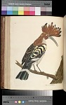 Plate 42 The Cock Hoopoe