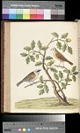 Plate 57 - The Mountain Titmouse