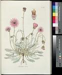 T. 162 - Arctotis rosea