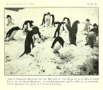Adelie Penguins waiting for the melting of the snow so as to build their nests on the rocks beneath.