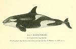 Killer Whale (Orca gladiator).