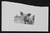 view Photograph of a pig digital asset number 1