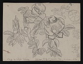 view Sketch of roses digital asset number 1