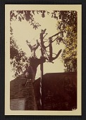 view Photograph of the actual Tasso's Oak tree in Rome digital asset number 1