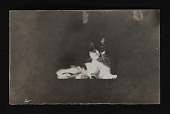 view Photograph of cat, pet of Paul Bransom, used in illustrations digital asset number 1