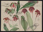 view Sketch of pitcher plants digital asset number 1