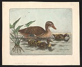 view Mother mallard with three young digital asset number 1