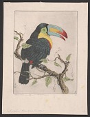 view Sulphur-breasted Toucan digital asset number 1