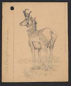 view Male Pronghorn Antelope digital asset number 1