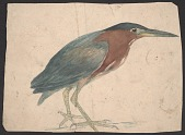 view Sketch of a Green Heron digital asset number 1