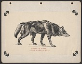 view Diagram of a wolf to illustrate the anatomy of a hairy coat digital asset number 1