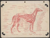 view Anatomical drawing of dog musculature digital asset number 1